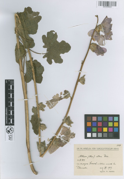 Althaea setosa Boiss.