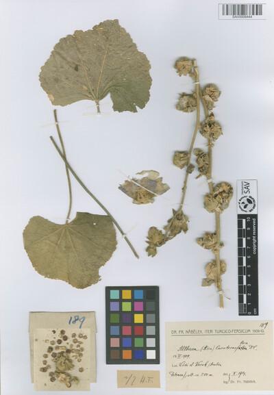 Althaea lavateriflora DC.