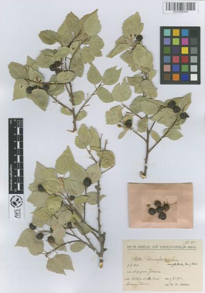Celtis tournefortii Lam. var. glabrata (Steven ex Planch.) Boiss.