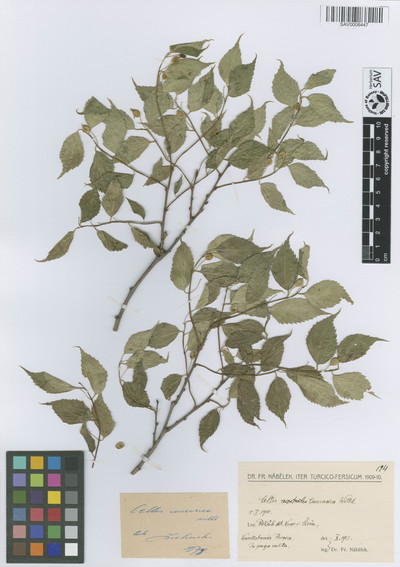 Celtis caucasica Willd.
