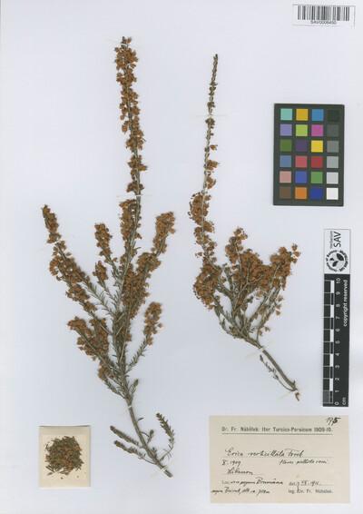 Erica verticillata Forssk.