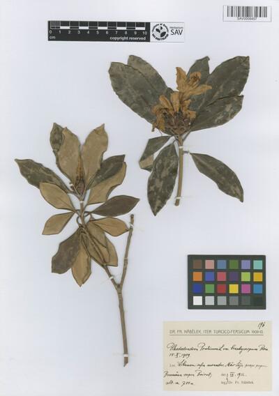 Rhododendron ponticum L. var. brachycarpum Boiss.