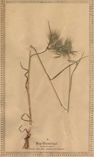 Bromus tectorum L.
