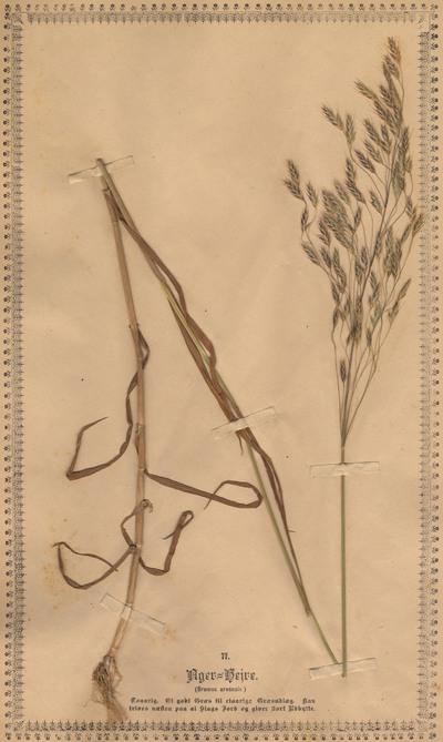 Bromus arvensis L.