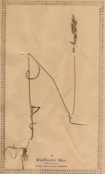Bromus racemosus L.