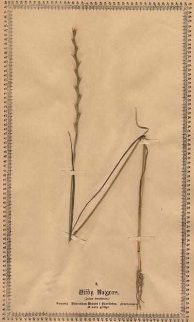 Lolium temulentum Linnaeus