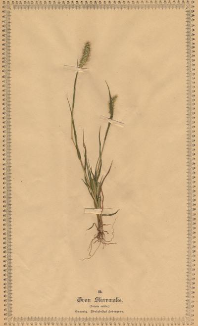 Setaria viridis (L.) P.Beauv.