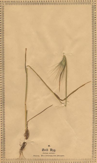 Hordeum murinum L.