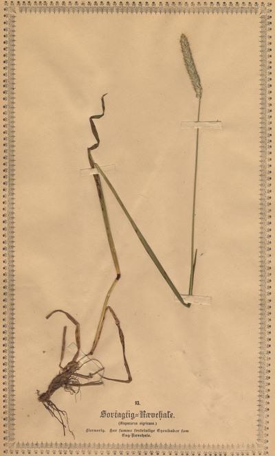Alopecurus arundinaceus Poir.