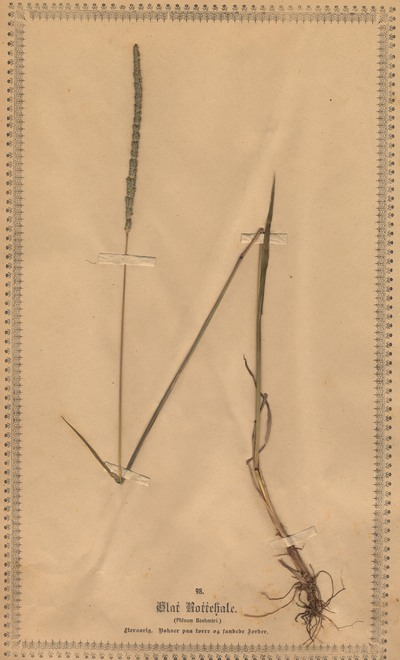 Phleum phleoides (L.) H.Karst.
