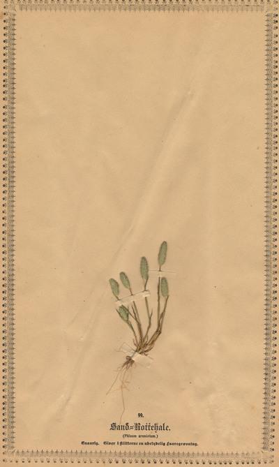 Phleum arenarium L.