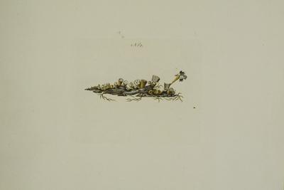 Crucibulum laeve (Huds.) Kambly