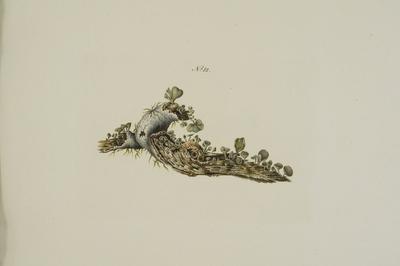 Chlorociboria aeruginosa (Oeder) C.S. Ramamuthi, Korf & L.R. Batra
