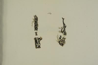 Lachnum virgineum (Batsch: Fr.) P. Karst. (nederste figur)