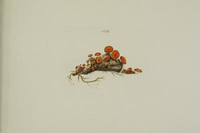 Scutellinia scutellata (L.: Fr.) Lambotte