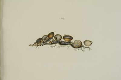 Humaria hemisphaerica (F.H. Wiggers: Fr.) Fuckel