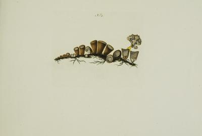 Cyathus striatus (Huds.: Pers.) Willd.