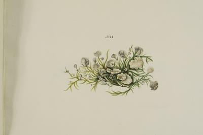 Arrhenia retiruga (Bull.: Fr.) Redhead