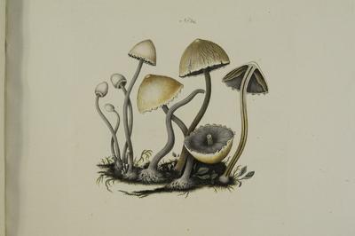 Panaeolus sphinctrinus (Fr.) Quél.