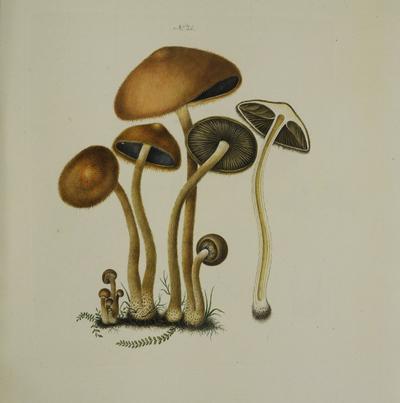 Lacrymaria pyrotricha (Holmsk.: Fr.) Konrad & Maublanc