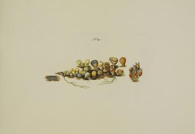 Nidularia deformis (Willd.: Pers.) Fr.