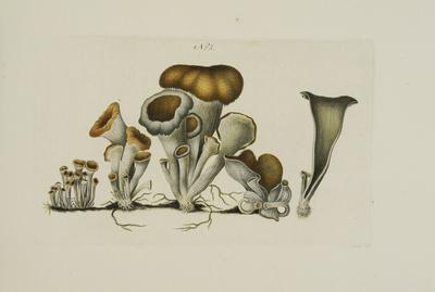 Craterellus cornucopioides (L.: Fr.) Pers.