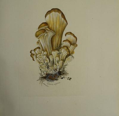 usikker, måske Lentinellus cochleatus
