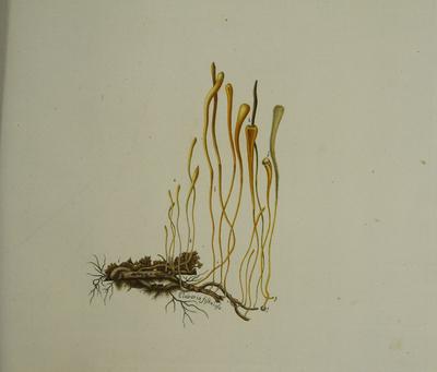 Macrotyphula fistulosa (Holmsk.: Fr.) R.H. Petersen