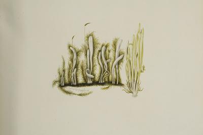 Clavaria fragilis Holmsk.: Fr.