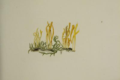 Clavulinopsis sp.