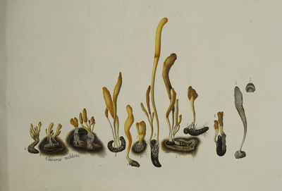 Cordyceps militaris (L.: Fr.) Fr.