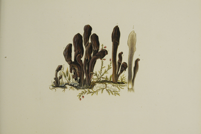 Microglossum olivaceum (Pers.) Gillet