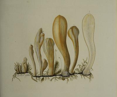 Clavariadelphus pistillaris (L.: Fr.) Donk