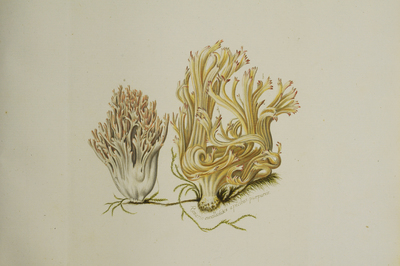 Ramaria botrytis (Pers.: Fr.) Ricken