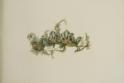 Paecilomyces farinosus A.H.S. Br. & G. Sm.