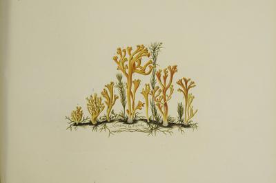 Clavulinopsis corniculata (Schaeff.: Fr.) Corner