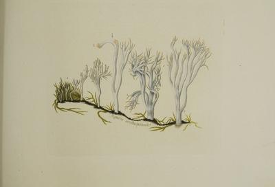 Clavulina coralloides (L.: Fr.) J. Schröt.