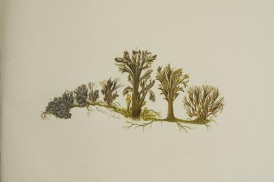 Thelephora palmata Scop.: Fr.