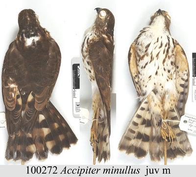 Accipiter minullus