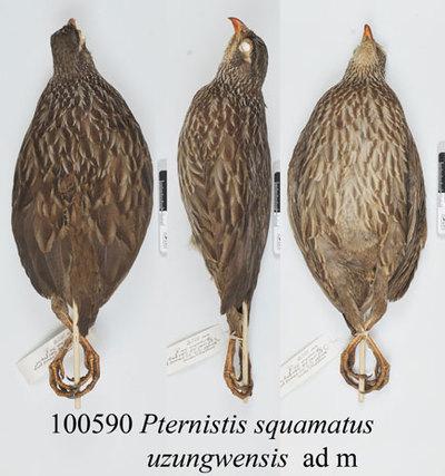 Pternistis squamatus