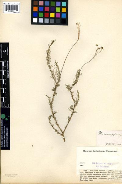 Pharnaceum reflexum Eckl. & Zeyh.