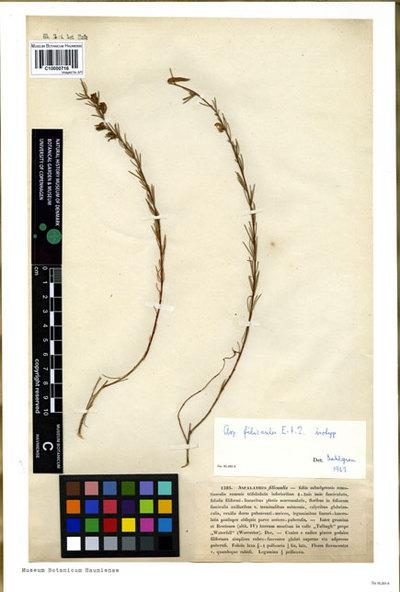 Aspalathus filicaulis Eckl. & Zeyh.