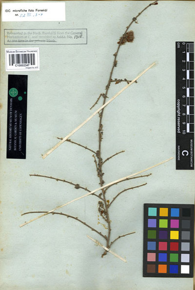 Hedysarum lappaceum Forssk.