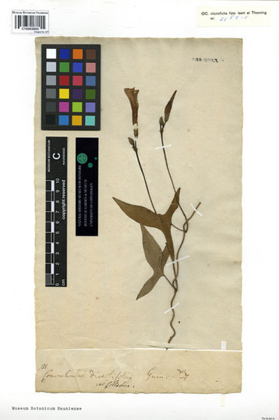 Convolvulus diversifolius Schumach. & Thonn.