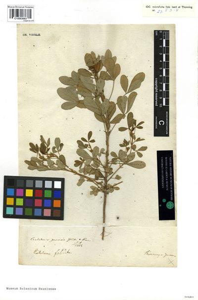 Crotalaria falcata Schumach. & Thonn.