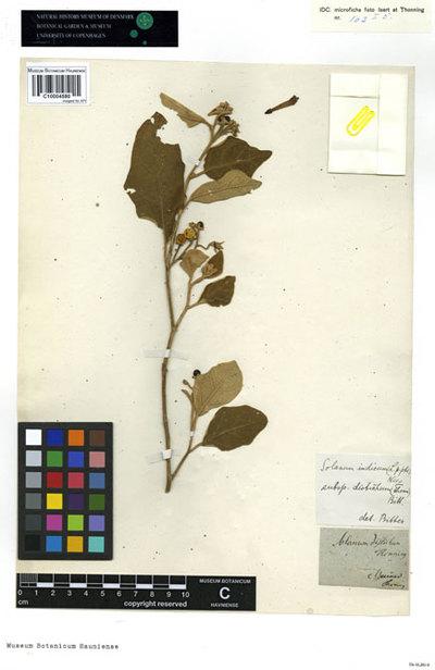 Solanum distichum Schumach. & Thonn.