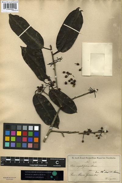 Ilex sapotifolia Reissek