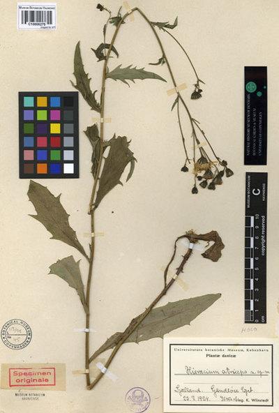 Hieracium atriceps Wiinst.