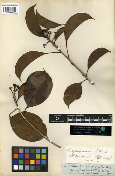 Hedera resinosa Spruce