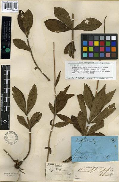 Calea platylepis Sch. Bip. ex Baker